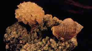 A male Solenosteira macrospira, left, carries snail eggs on its shell. But not all of the eggs were fertilized by him. Females, like the one on the right, deposit the eggs into papery capsules and attach them to th