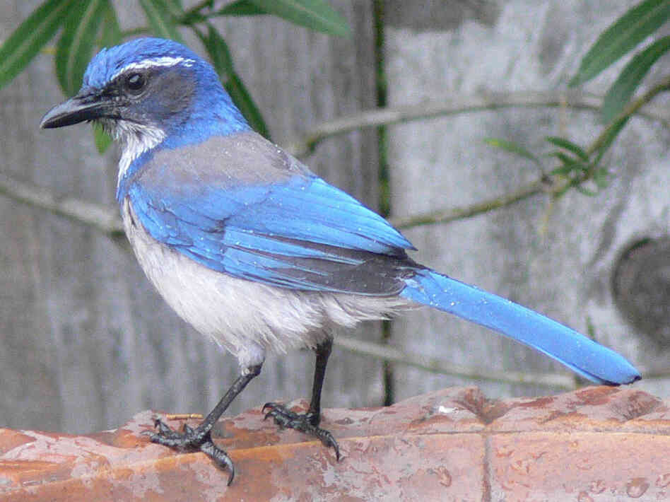A western scrub-jay sitting on a backyard birdbath.