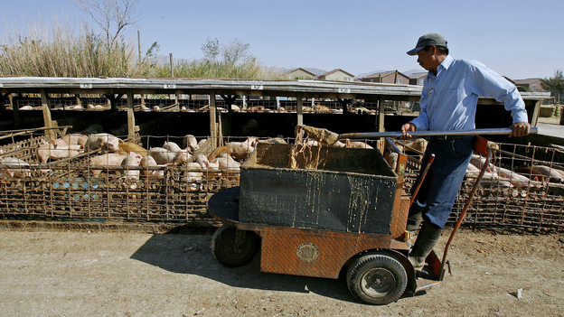 Farm worker Jesus Francisco Cayetano feeds pigs a slop made from food scraps from casinos near North Las Vegas, Nev. in 2006. (AP)