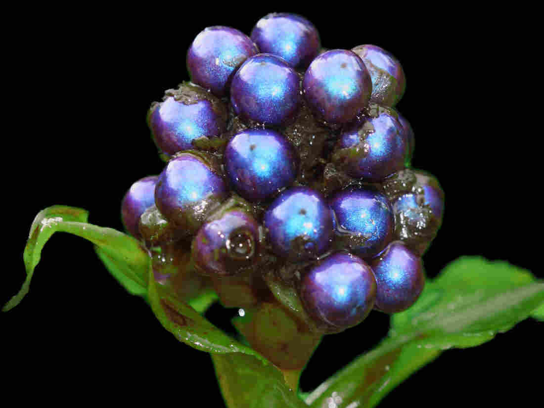 The shiny blue berries of the tropical Pollia condensata plant rely on their looks, not nutritional content, to attract birds to spread their seeds.