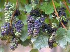 Pinot noir grapes are notoriously finicky about the weather, and climate change has winemakers in Oregon thinking about the future.