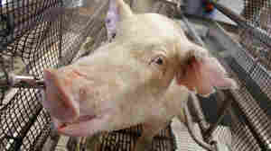 A hog gets a closeup at the Illinois State Fair in August. Officials took special precautions to make sure no livestock sick with a new strain of swine were part of the fair.