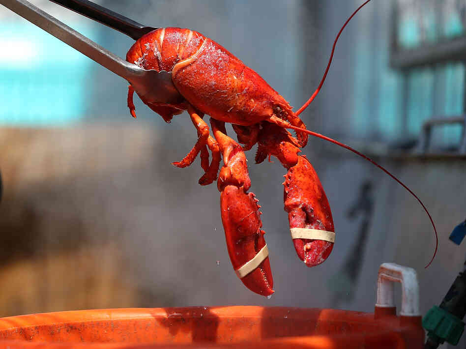 An overabundance of lobsters in Maine due to early shedding of shells has driven down prices to record lows. That's good for consumers.