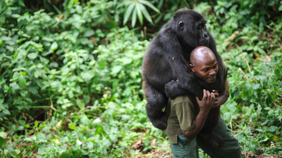 Patrick Karabaranga, a warden at the Virunga National Park, plays with an orphaned mountain gorilla at the park headquarters in Rumangabo, eastern Democratic Republic of Congo, on July 17. The Virunga park is home to about 200 mountain gorillas, approximately a quarter of the world's population.