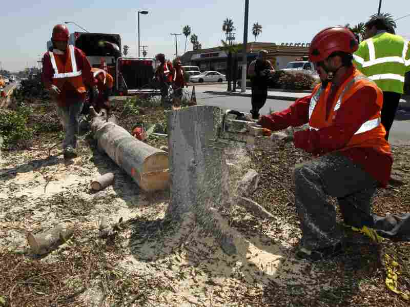 Workers remove a tree from a median in the middle of Manchester Boulevard in Inglewood, Calif., on Sept. 4 to make room for Endeavour.