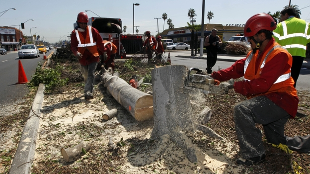 Workers remove a tree from a median in the middle of Manchester Boulevard in Inglewood, Calif., on Sept. 4 to make room for Endeavour. (AP)