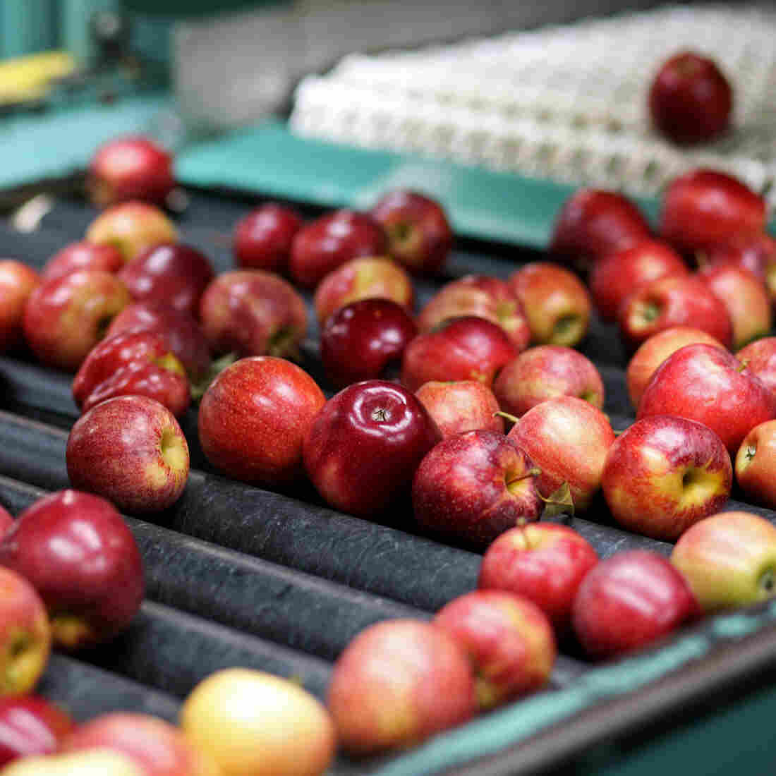 Shriveled Mich. Apple Harvest Means Fewer Jobs, Tough Year Ahead