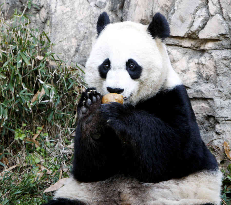 Mei Xiang, who gave birth overnight, enjoying a piece