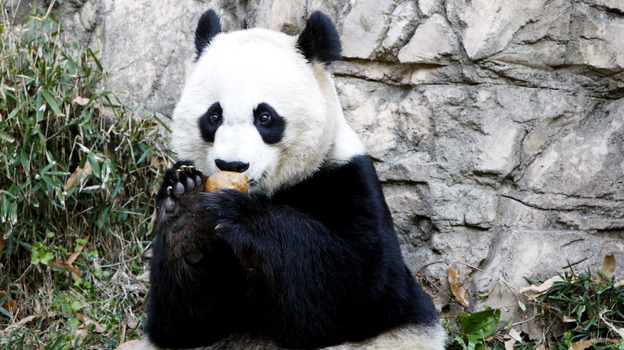 Mei Xiang, who gave birth overnight, enjoying a piece of fruit on Dec. 19, 2011, at the National Zoo. (Xinhua /Landov)