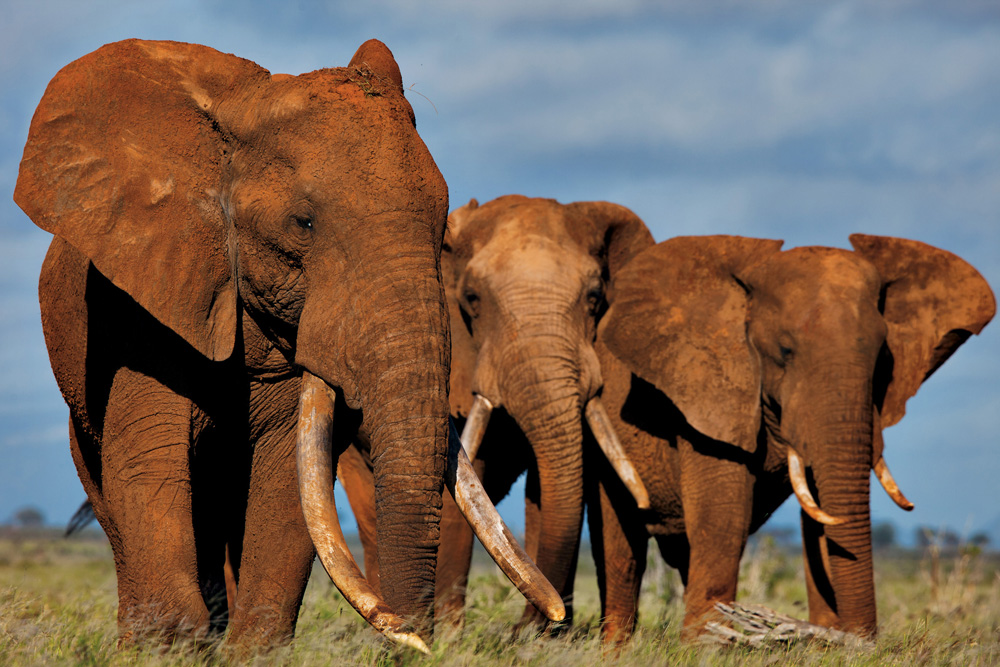 """Some of the last big tuskers gather in Tsavo, Kenya. A single large tusk sold on the local black market can bring $6,000, enough to support an unskilled Kenyan worker for 10 years."""