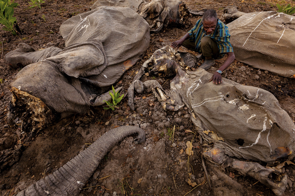 """Bodies are what remain in Cameroon's Bouba Ndjidah National Park after one of the largest mass elephant slaughters in decades. Armed with grenades and AK-47s, poachers killed more than 300."""