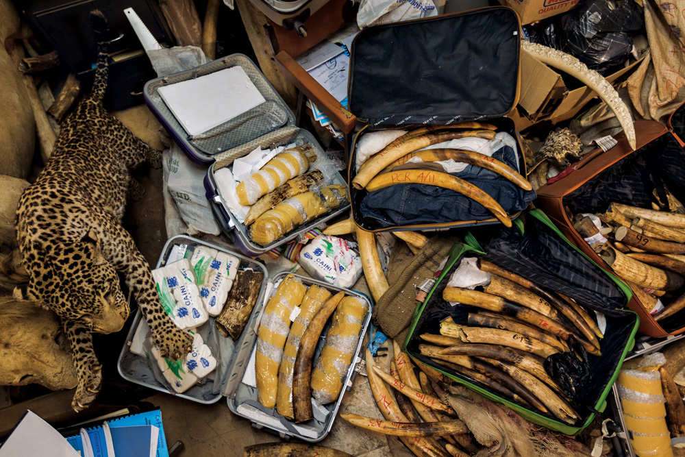 """Smugglers failed to get this contraband past Kenya's law enforcement, but the animals are still gone. Small tusks indicate that young elephants were poached."""