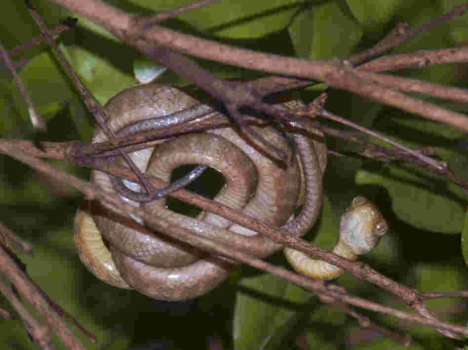 Invasive brown tree snakes have gobbled up most of Guam's native forest birds. Without these avian predators to keep their numbers in check, the island's spider population has exploded.
