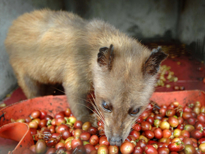 """In captivity, civets don't choose what they eat. """"It's unripe and its robusto,"""" says coffee connoisseur Oliver Strand, dismissing it: """"That's of zero interest."""" Robusto coffee, he explains, is indigenous to Africa, and not what the animal would eat in the wild."""