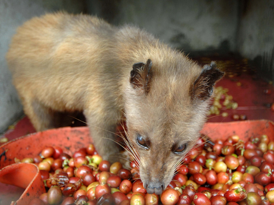 "In captivity, civets don't choose what they eat. ""It's unripe and its robusto,"" says coffee connoisseur Oliver Strand, dismissing it: ""That's of zero interest."" Robusto coffee, he explains, is indigenous to Africa, and not what the animal would eat in the wild. (AFP/Getty Images)"