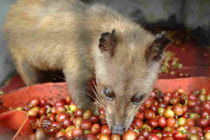 "In captivity, civets don't choose what they eat. ""It's unripe and its robusto,"" says coffee connoisseur Oliver Strand, dismissing it: ""That's of zero interest."" Robusto coffee, he explains, is indigenous to Africa, and not what the animal would eat in the wild."