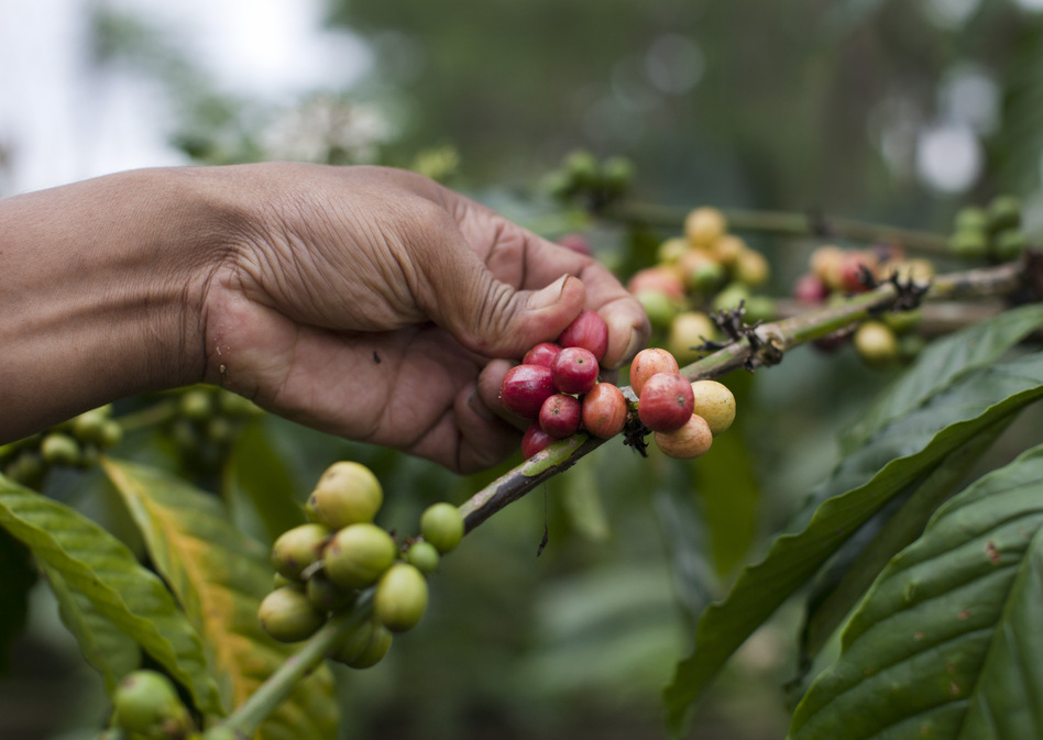 "A coffee ""bean"" is actually the seed of a cherry-sized fruit that grows on the coffee plant. Civets eat the whole fruit. The seed is separated from the pulp in the digestive process. (Getty Images)"