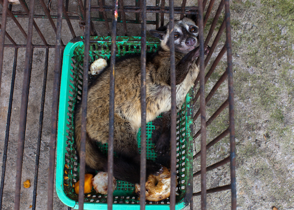 Capitalizing on the fact that civet coffee can fetch a pretty penny, small producers have started farming it. That is, keeping civets in captivity and feeding them coffee fruits once a day. (Getty Images)