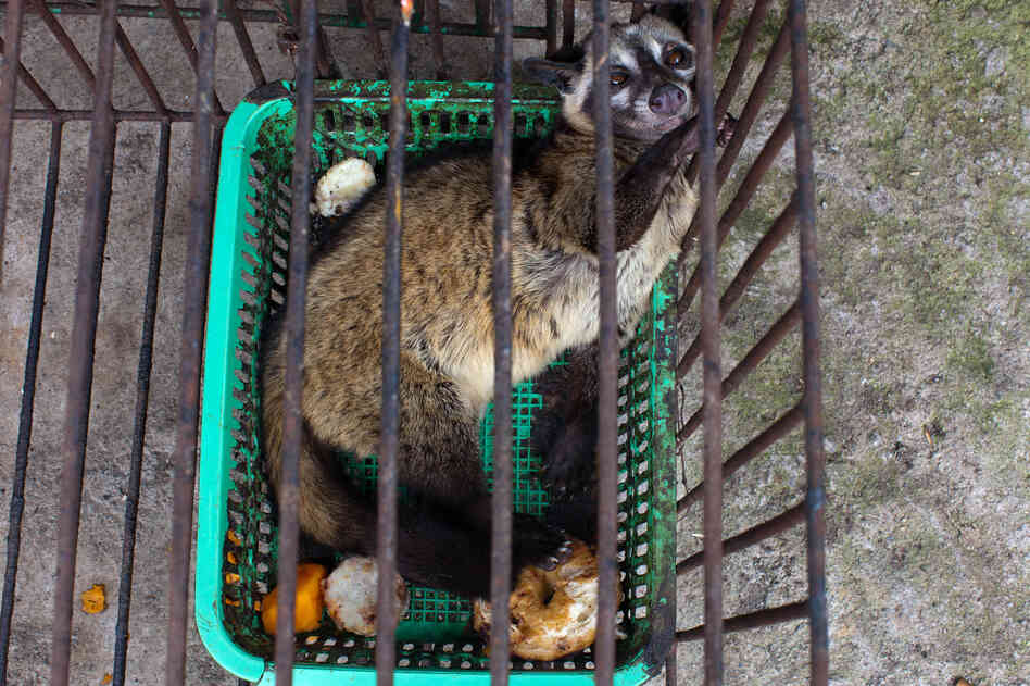"Capitalizing on the fact that civet coffee can fetch a pretty penny, small producers have started ""farming"" it. That is, keeping civets in captivity and feeding them coffee fruits once a day."