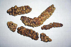 Civet feces are collected and cleaned for the beans, which are naturally fermented during digestion.