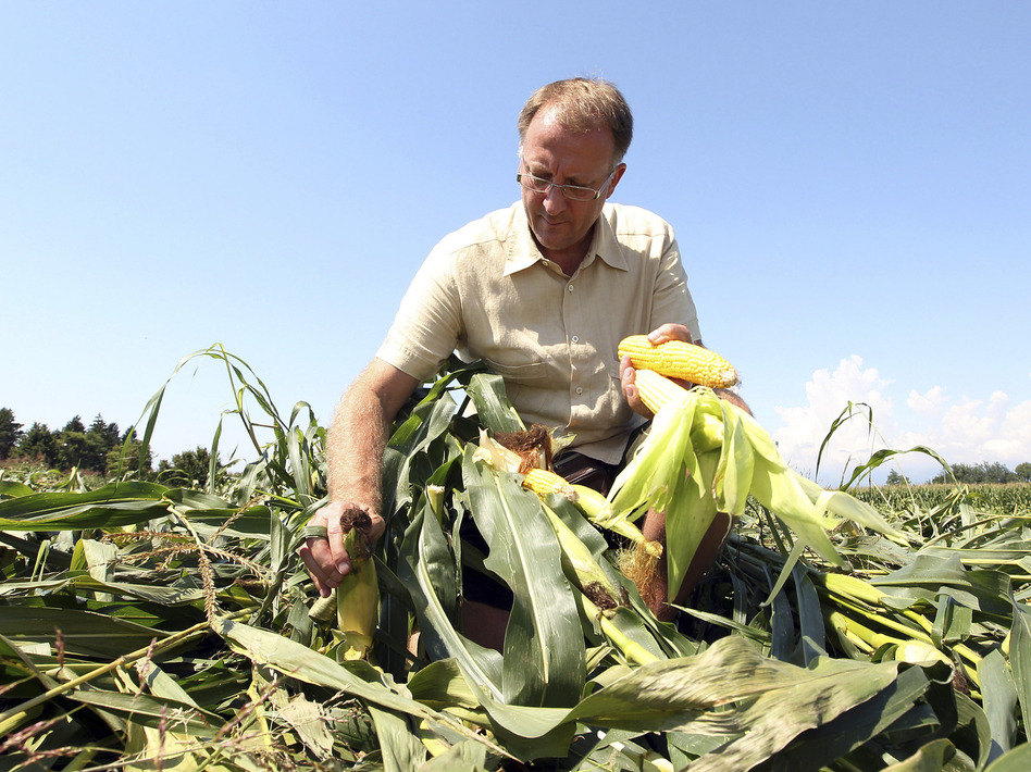 Italian farmer Giorgio Fidenato picks up what's left of his genetically altered corn after anti-GMO activists trampled it, back in 2010.