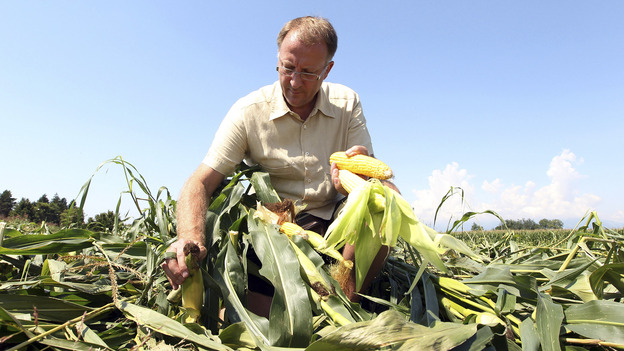 Italian farmer Giorgio Fidenato picks up what's left of his genetically altered corn after anti-GMO activists trampled it, back in 2010. (AP)