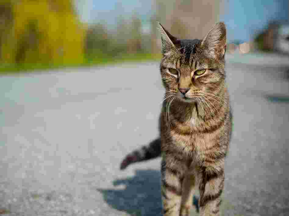 The genetic factors responsible for a cat's stripes might help researchers understand disease resistance in humans.