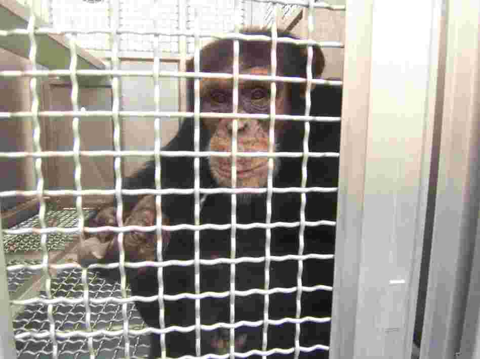 Federally funded chimps at the New Iberia Research Center in Louisiana will retire to either a lab in Texas or a chimp sanctuary in Louisiana.