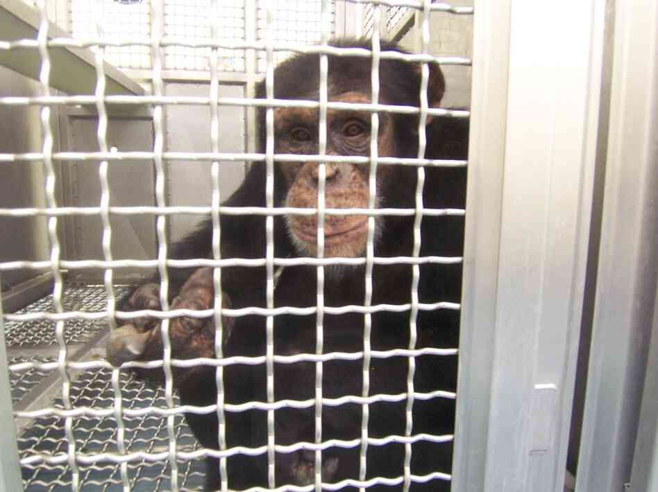 Federally funded chimps at the New Iberia Research Center in Louisiana will retire to either a lab in Texas or a