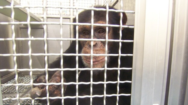 Federally funded chimps at the New Iberia Research Center in Louisiana will retire to either a lab in Texas or a chimp sanctuary in Louisiana. (Courtesy of the Humane Society of the United States)