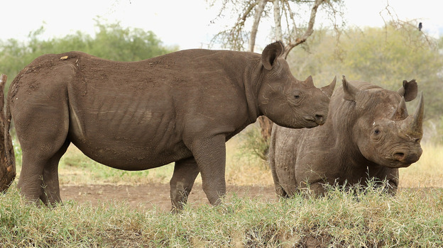 Rhinos stand at a water hole in Mkomazi rhino sanctuary on in Mkomazi, Tanzania. (Getty Images)