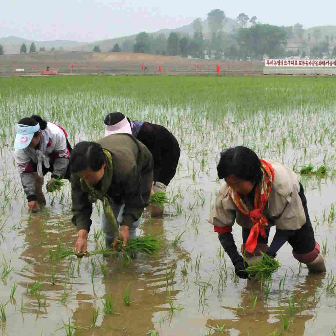 Workers plant rice at a co-op farm in Nampo, North Korea, on May 12. The North Korean leadership has given indications that it may be preparing to implement measures to liberalize the country's economy.