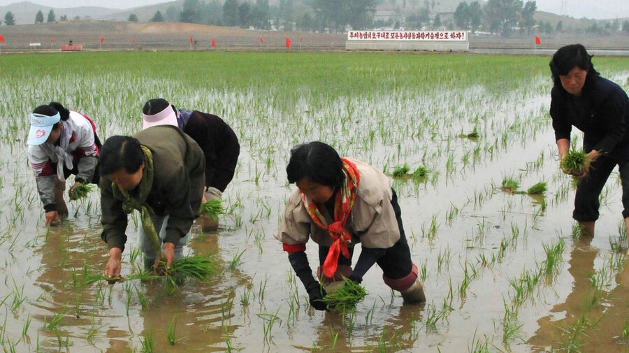 Image result for Rice, north korea, photos