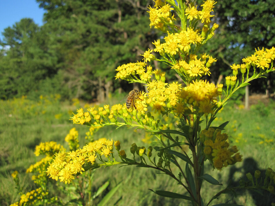 A bee gathers pollen from goldenrod, a wildflower that's popular with meadmakers, in Scarborough, Me. (NPR)