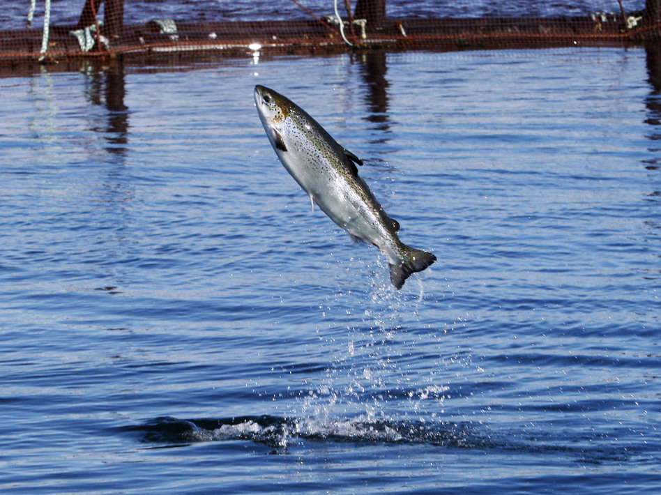 An Atlantic salmon leaps while swimming inside a farm pen near Eastport, Maine. Studies show farm-raised fish, like people, benefit from exercise.