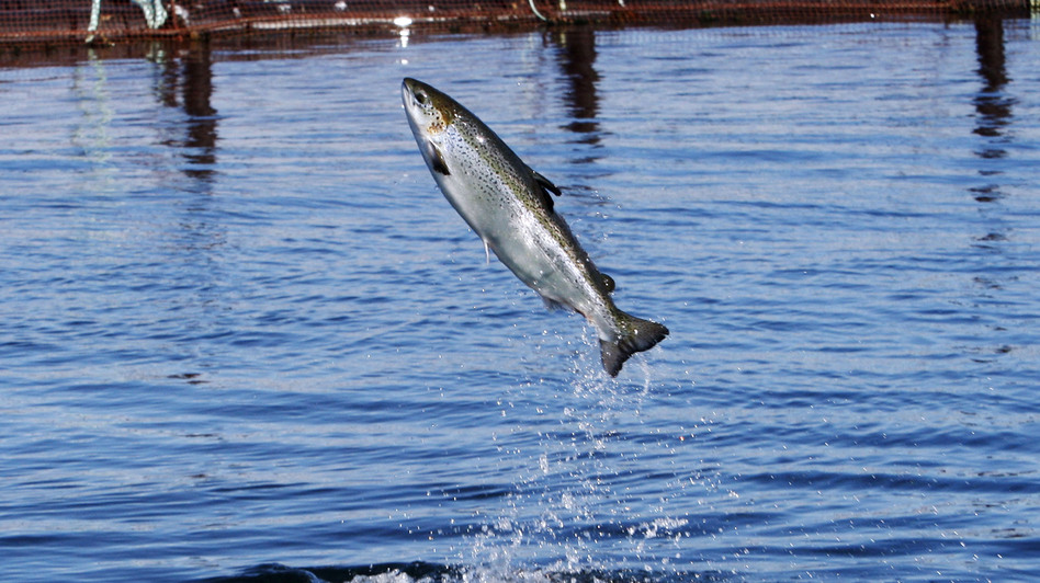 An Atlantic salmon leaps while swimming inside a farm pen near Eastport, Maine. Studies show farm-raised fish, like people, benefit from exercise. (AP)