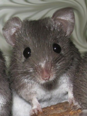 The African spiny mouse has the ability to regrow large patches of skin and hair without scarring.
