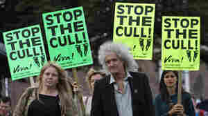 Badgers have been blamed for spreading disease among cattle in Britain. But a campaign to cull the badgers has been met with opposition from prominent figures like Queen guitarist Brian May, who joined this rally in Bristol earlier this month.