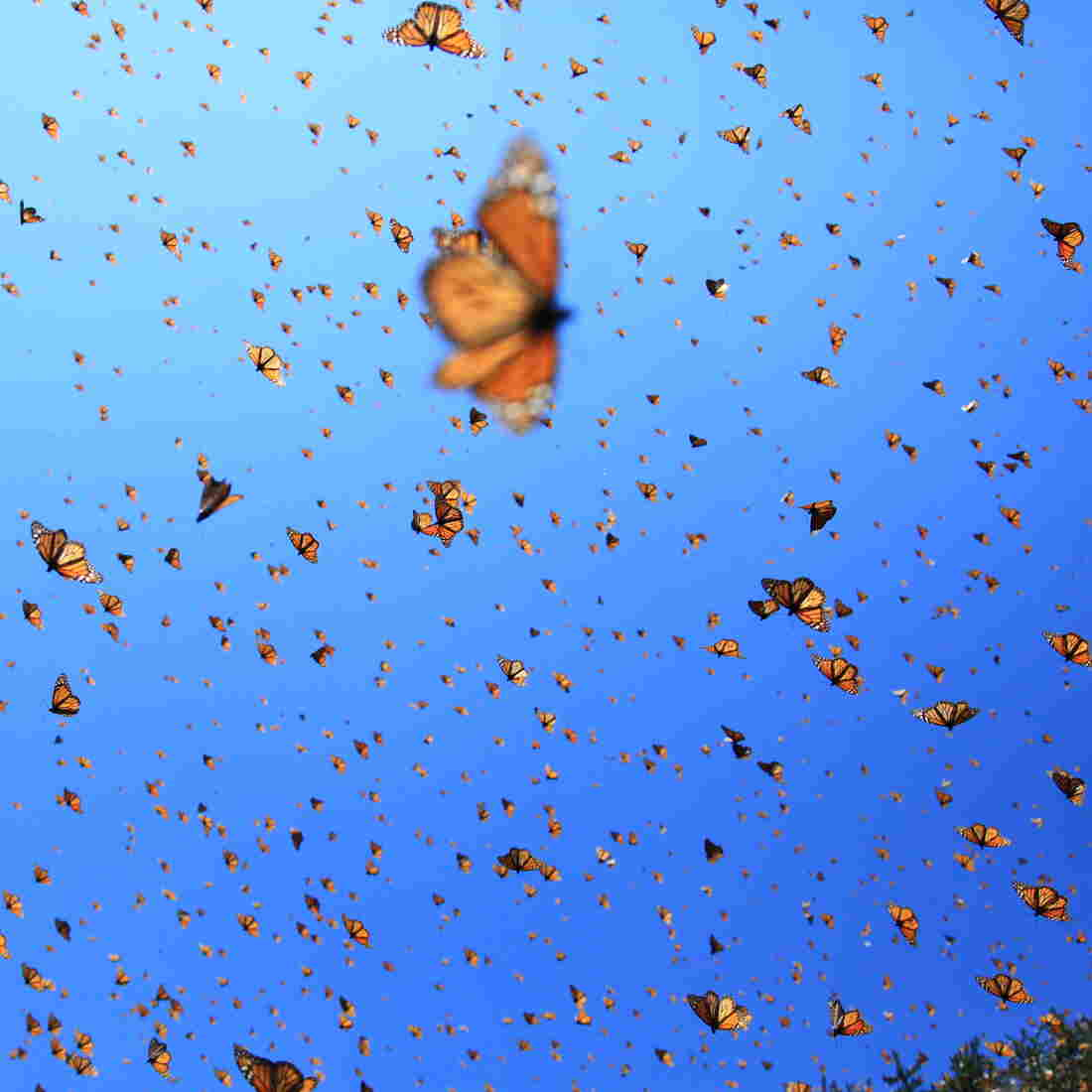 """Supergenerations"" of monarch butterflies migrate over 2000 miles from Canada to Mexico."