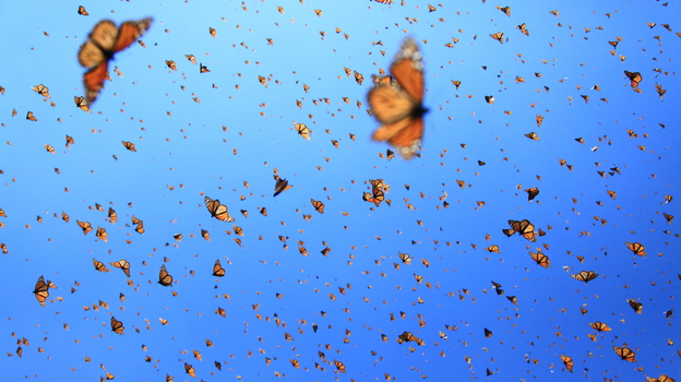 """Supergenerations"" of monarch butterflies migrate over 2000 miles from Canada to Mexico. (SK Films)"