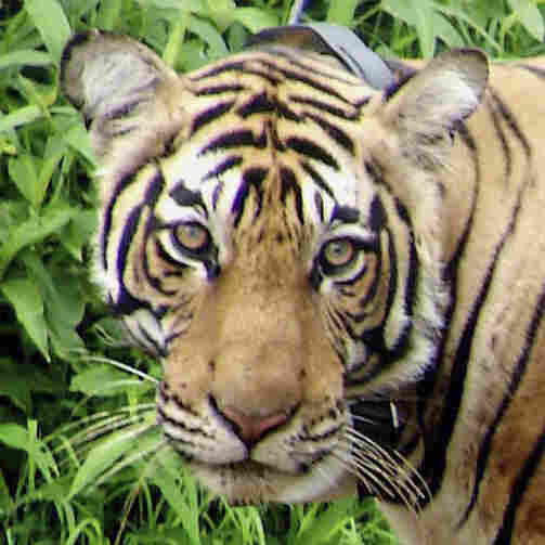 Tourists Banned From India's Tiger Reserves