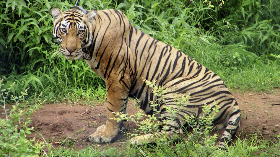 A tiger is seen in June 2008 at Sariska Tiger Reserve in the western state of Rajasthan, India, after being shifted from Ranthambore National Park. In an attempt to help revive western India's tiger population, a female tiger was airlifted to join a male at the national reserve. (AP)