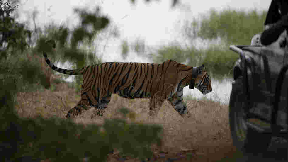 In October 2010, a tiger walks past a vehicle carrying tourists at Ranthambore National Park in India. India's top court has banned tourism in parts of tiger reserves across the country in an effort to save the endangered big cat.