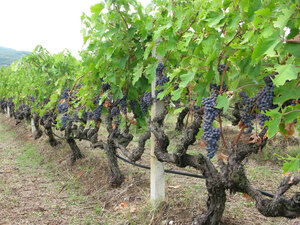 Grapes ripen on the vine at Kir-Yianni vineyard outside Naoussa, Greece.