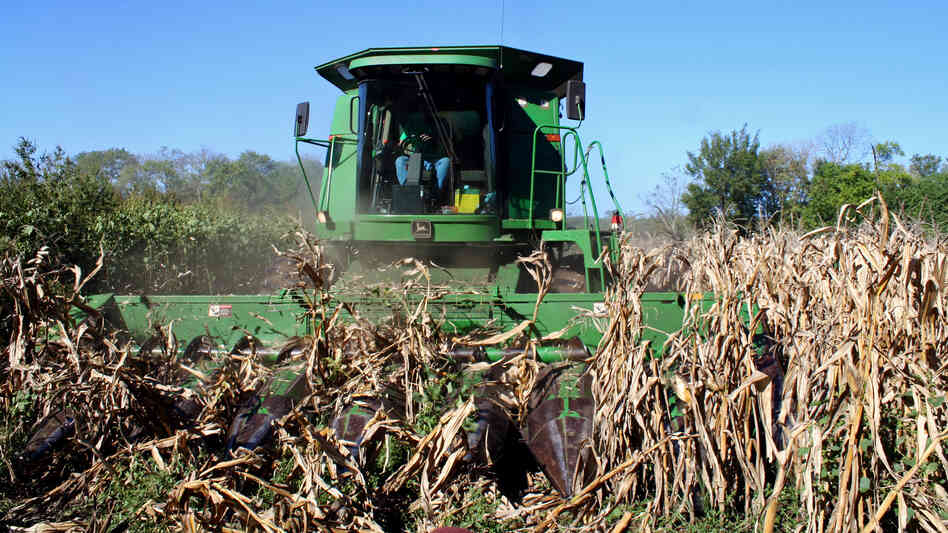 Kansas farmer Luke Ulrich pilots his combine through the last eight rows of this year's ragged crop, which produced far less than half the normal yield.