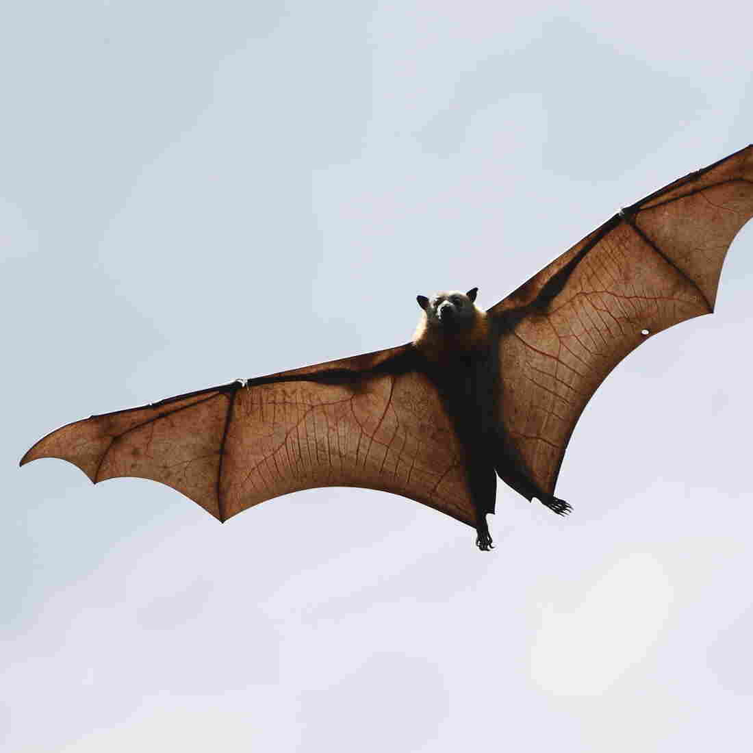 Genome Hints At Bat Link For SARS-Like Virus