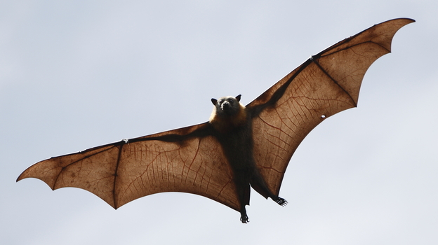 Bats harbor many types of coronaviruses and were probably the original source of the new coronavirus that appeared in the Middle East. (iStockphoto.com)