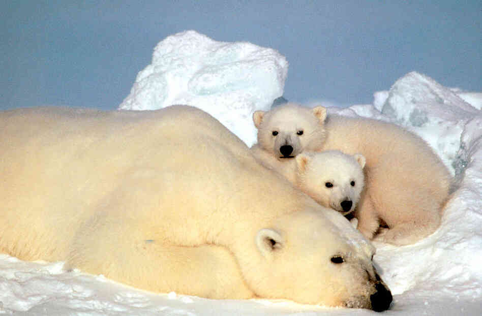 Polar bears in the Beaufort Sea in north