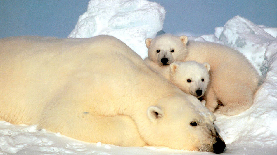 Polar bears in the Beaufort Sea in northern Alaska. Scientist Charles Monnett caused a stir with a 2006 report on polar bears that were drowning, apparently owing to a lack of ice. (Fish and Wildlife Service)