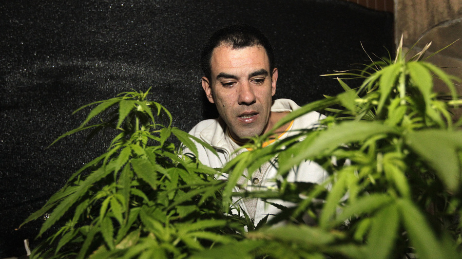 Marijuana grower and activist Juan Vaz checks a marijuana plant in the Uruguayan capital, Montevideo, in August. Uruguay's government has sent a bill to Congress that would allow the state to grow and sell marijuana.